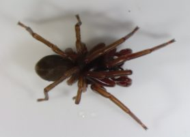 Picture of Dysdera spp. - Male - Dorsal