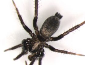 Picture of Gnaphosidae (Stealthy Ground Spiders) - Male - Dorsal