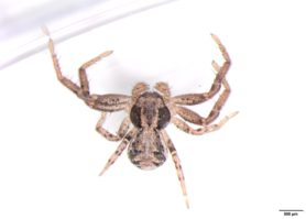 Picture of Xysticus spp. (Ground Crab Spiders) - Male - Dorsal