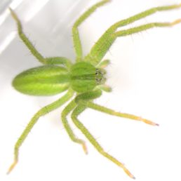 Featured spider picture of Micrommata virescens (Green Huntsman Spider)