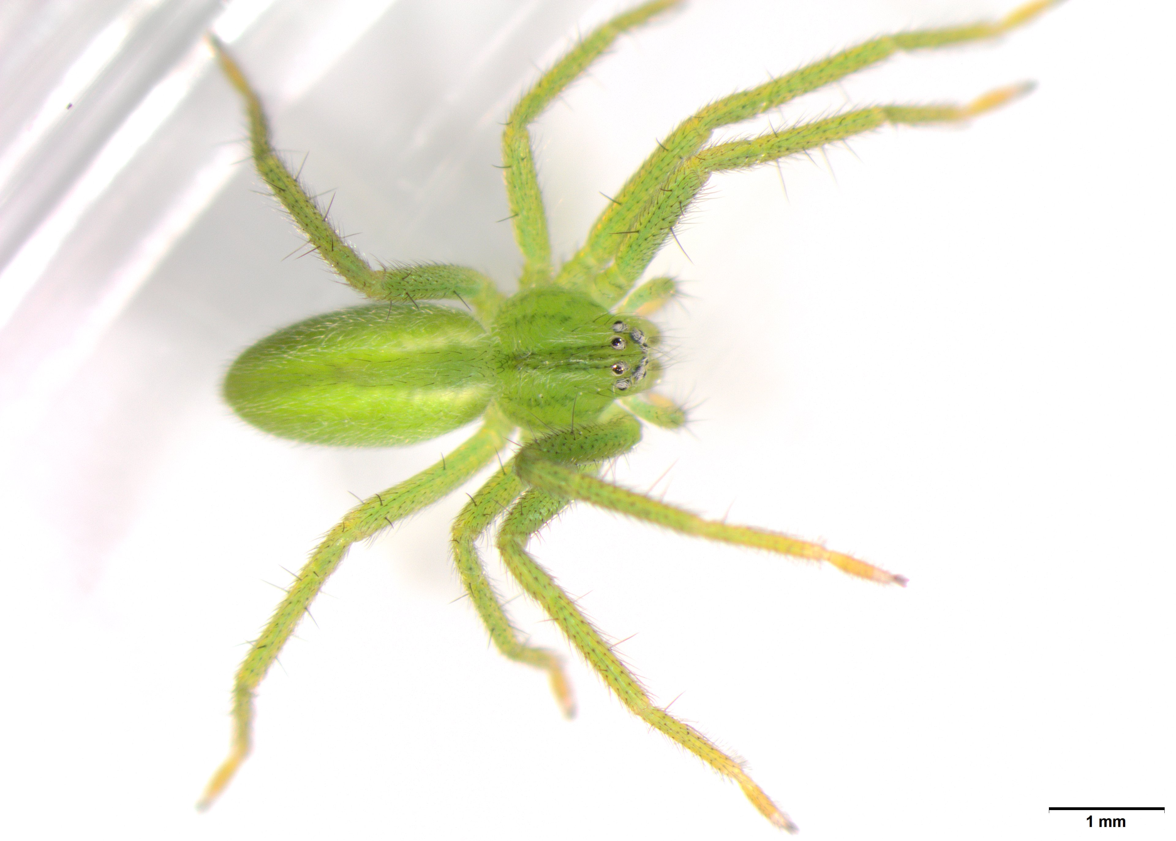 Picture of Micrommata virescens (Green Huntsman Spider) - Dorsal,Eyes