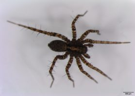 Picture of Pardosa spp. (Thin-legged Wolf Spiders) - Male - Dorsal