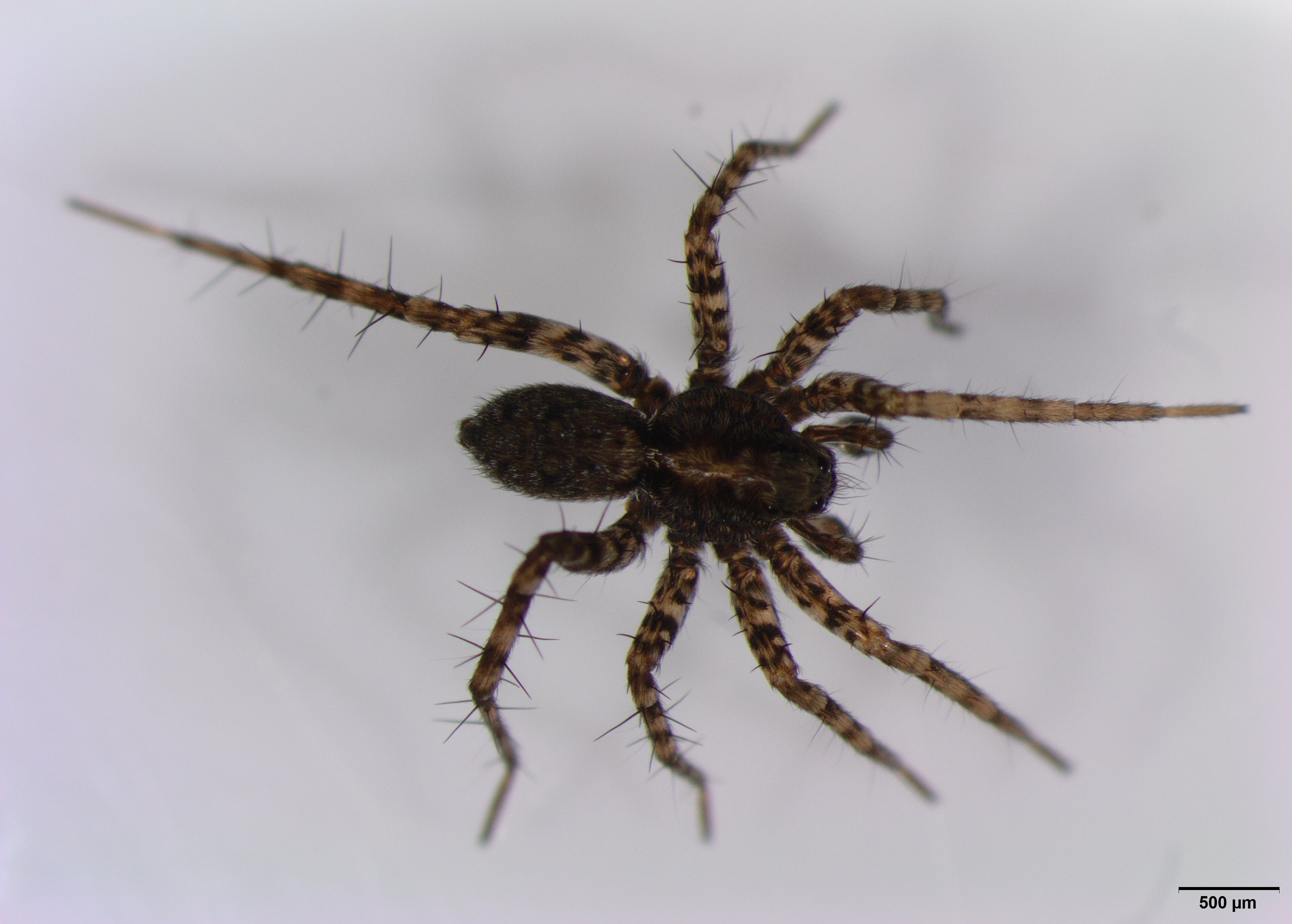 Picture of Pardosa (Thin-legged Wolf Spiders) - Male - Dorsal