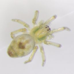 Featured spider picture of Nigma puella