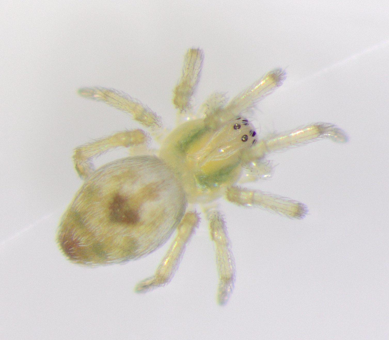 Picture of Nigma puella - Dorsal