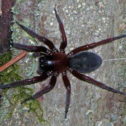 Featured spider picture of Callobius severus