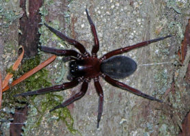 Picture of Callobius severus - Female - Dorsal