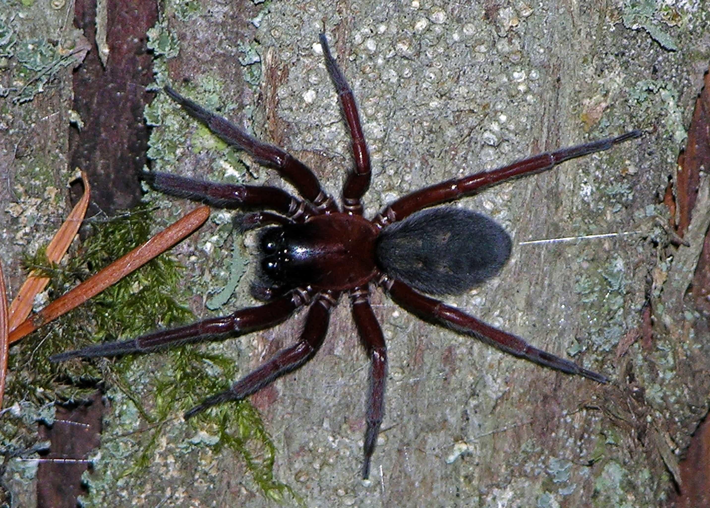 Picture of Callobius severus - Female - Dorsal