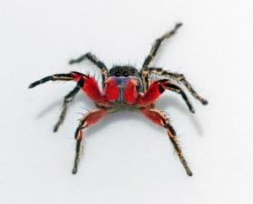 Picture of Habronattus americanus - Male - Eyes