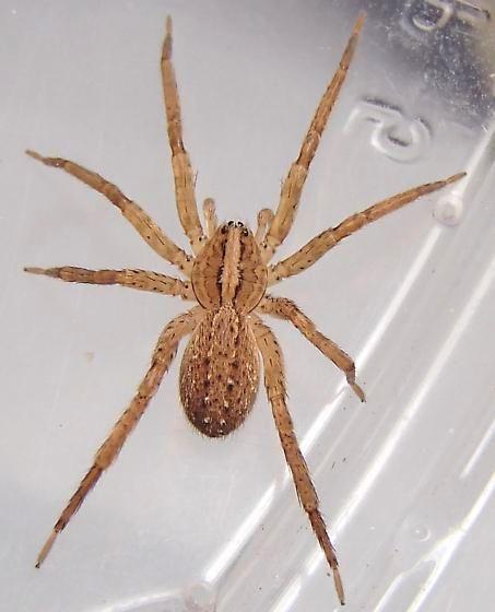 Picture of Anahita punctulata (Southeastern Wandering Spider) - Female - Dorsal