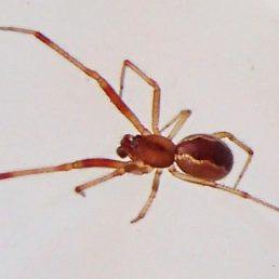 Featured spider picture of Anelosimus studiosus (Communal Spider)