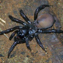 Featured spider picture of Antrodiaetus pacificus