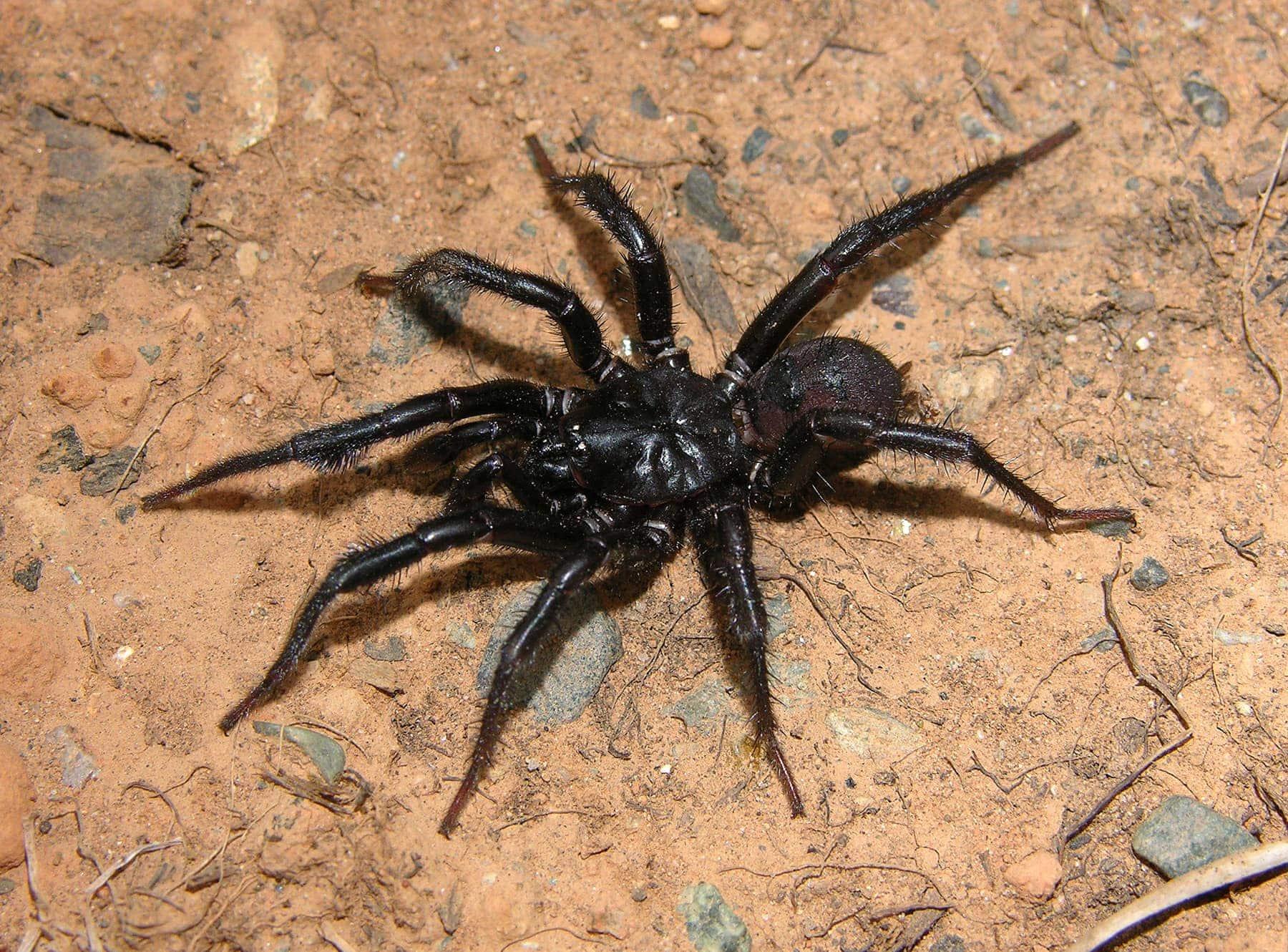 Picture of Antrodiaetus pacificus - Male - Dorsal