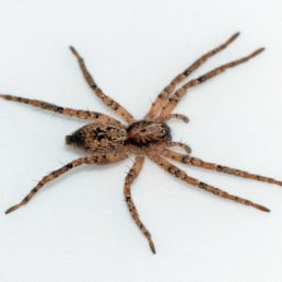 Featured spider picture of Anyphaena aperta
