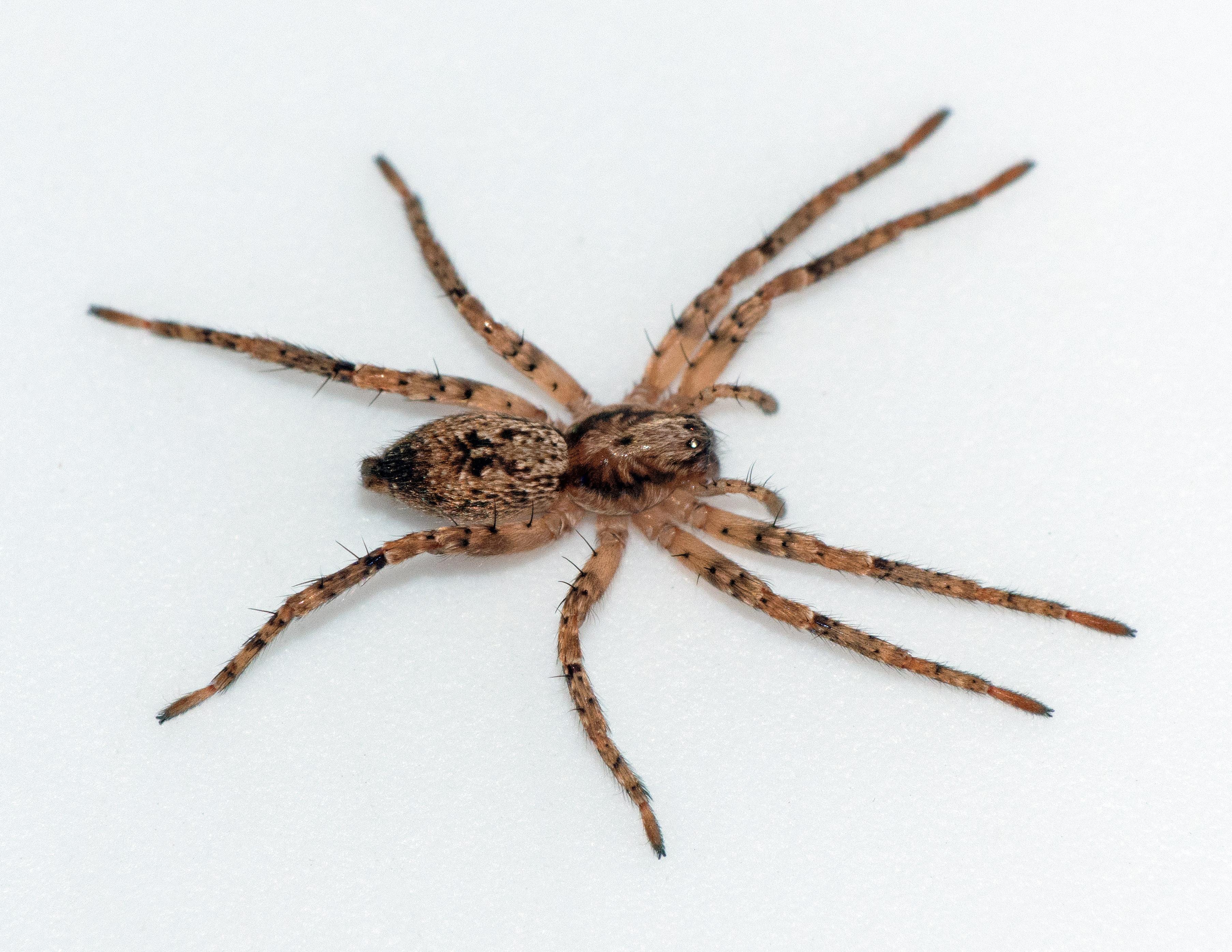 Picture of Anyphaena aperta - Female - Dorsal