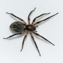 Featured spider picture of Anyphaena pacifica