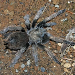Featured spider picture of Aphonopelma johnnycashi
