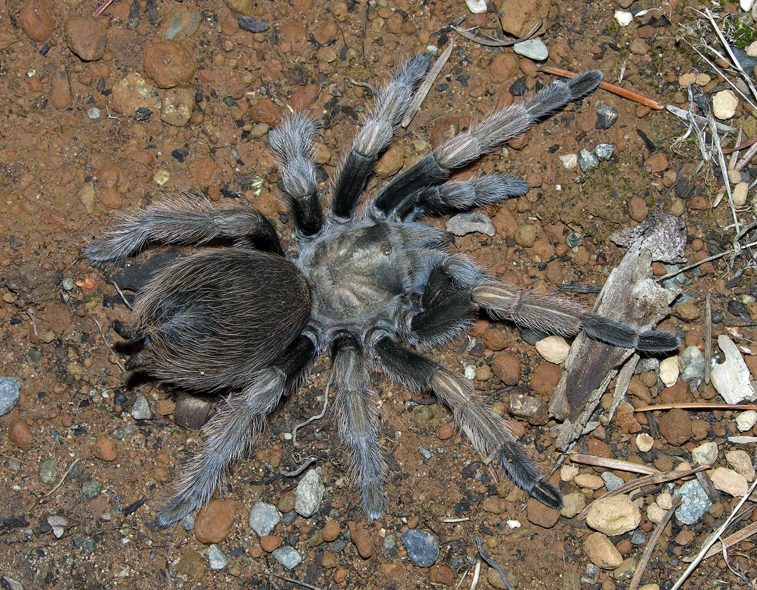 Picture of Aphonopelma johnnycashi - Female - Dorsal