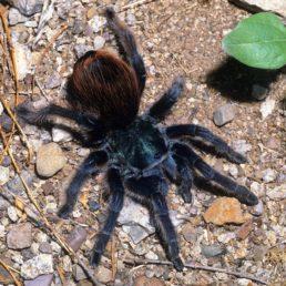Featured spider picture of Aphonopelma mooreae (North American Cobalt Tarantula)