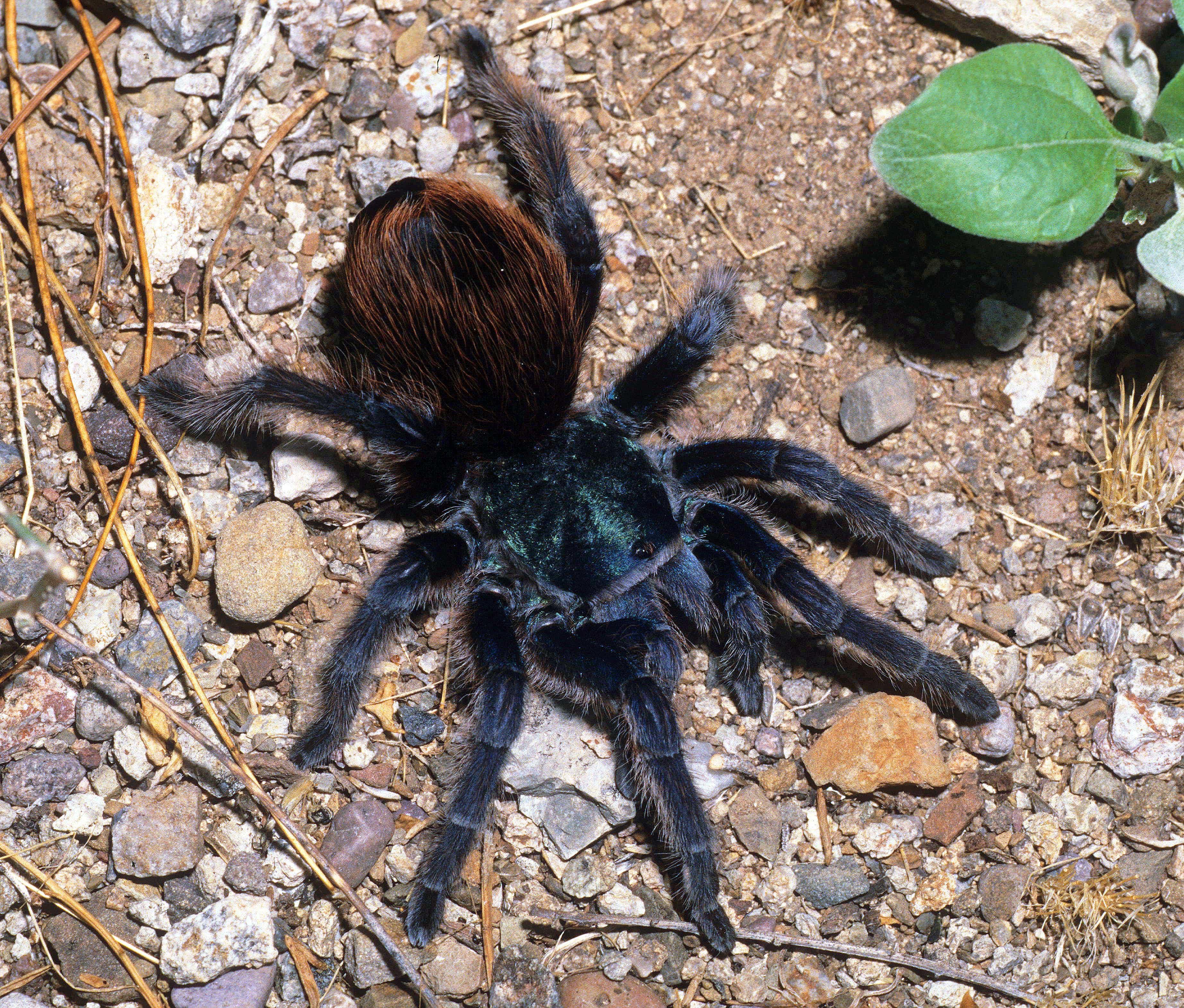 Picture of Aphonopelma mooreae (North American Cobalt Tarantula) - Female - Dorsal