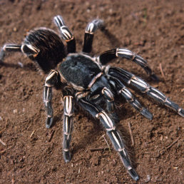 Featured spider picture of Aphonopelma seemanni (Costa Rican Zebra Tarantula)