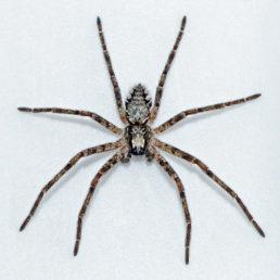 Featured spider picture of Apollophanes margareta