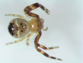 Picture of Synema globossum (Napoleon Spider) - Dorsal,Eyes