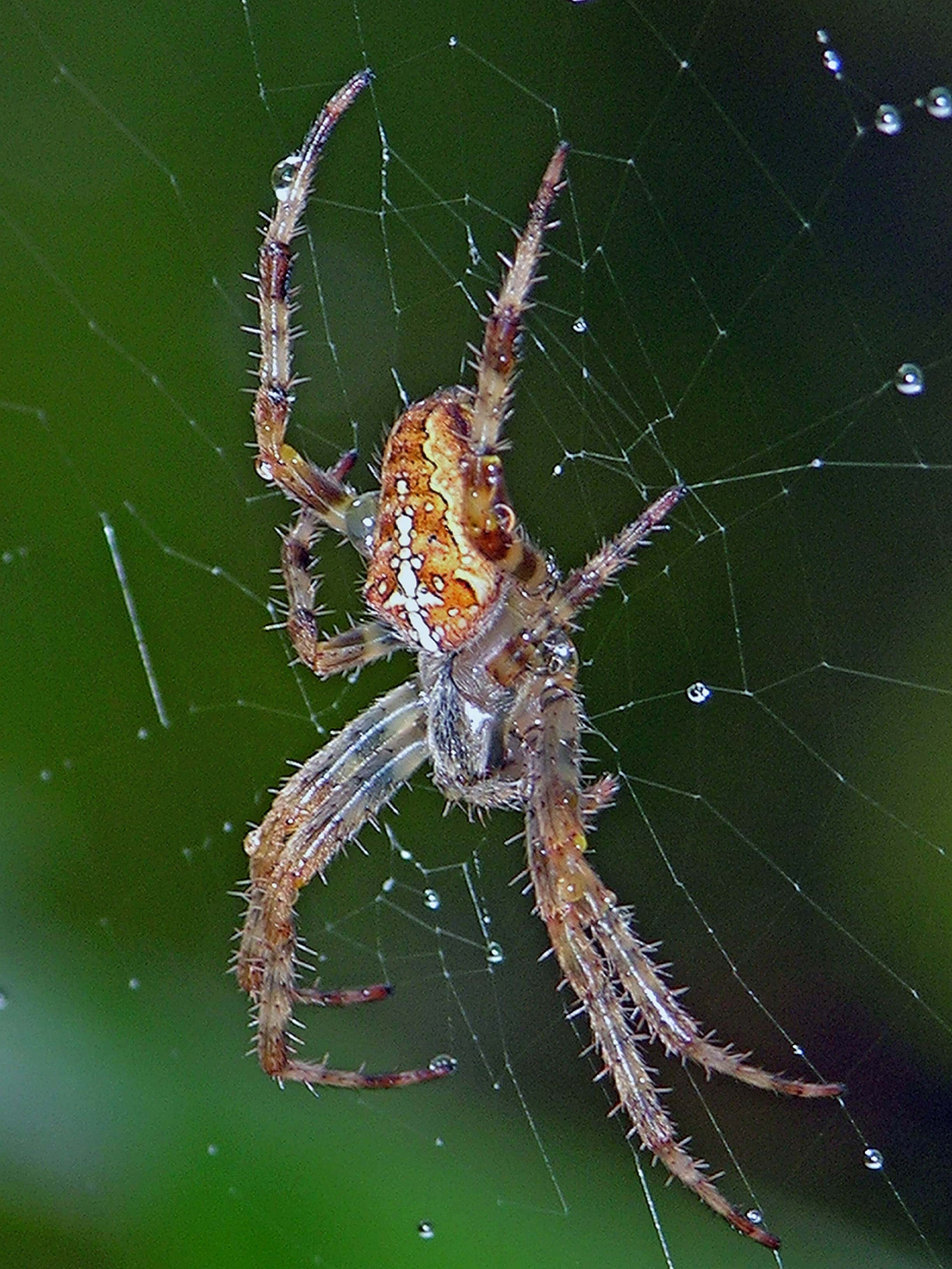 Picture of Araneus diadematus (Cross Orb-weaver) - Female - Lateral,Webs