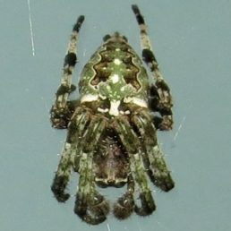 Featured spider picture of Araneus bicentenarius (Giant Lichen Orb-weaver)