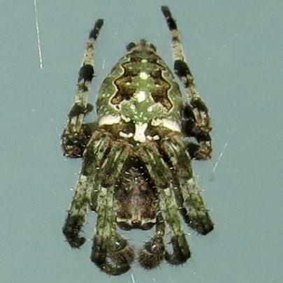 Picture of Araneus bicentenarius (Giant Lichen Orb-weaver) - Male - Dorsal,Penultimate