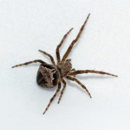 Featured spider picture of Araneus montereyensis