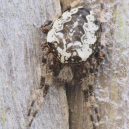 Featured spider picture of Araneus nordmanni