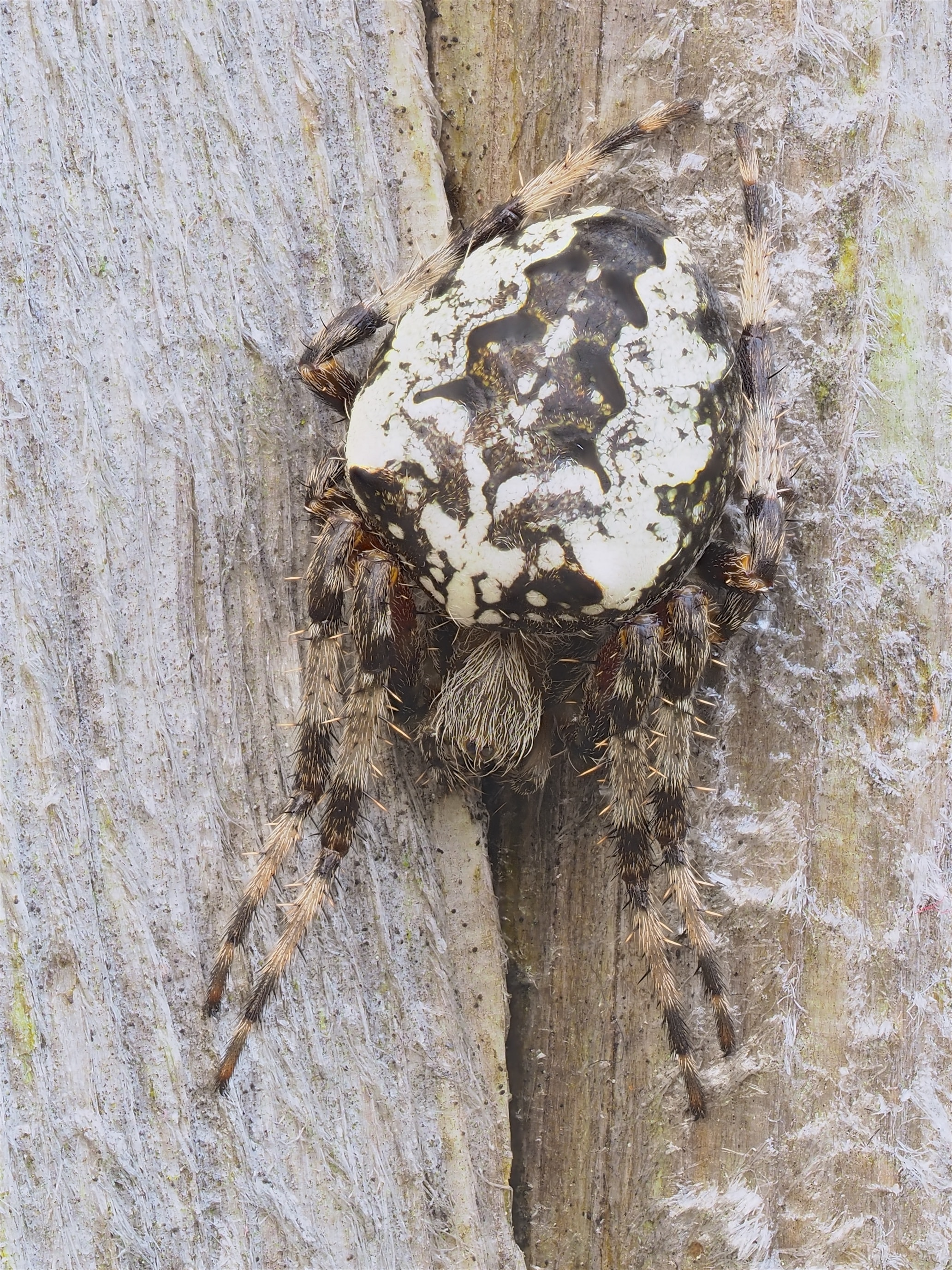 Picture of Araneus nordmanni - Female - Dorsal