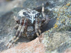 Picture of Araneus nordmanni - Female - Eyes