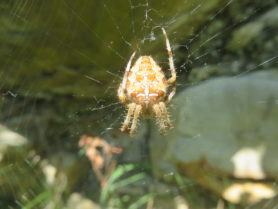 Picture of Araneus diadematus (Cross Orb-weaver) - Female - Dorsal,Webs
