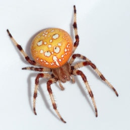 Featured spider picture of Araneus trifolium (Shamrock Orb-weaver)