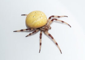 Picture of Araneus trifolium (Shamrock Orb-weaver) - Female - Lateral