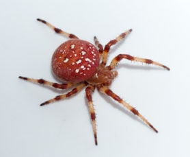Picture of Araneus trifolium (Shamrock Orb-weaver) - Female - Dorsal