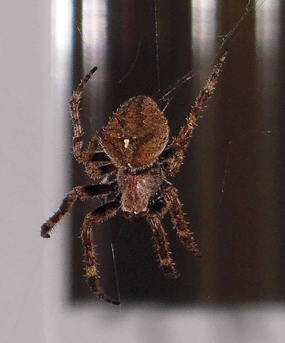 Picture of Araneus andrewsi - Dorsal