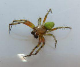 Picture of Araniella spp. - Male - Dorsal