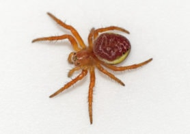 Picture of Araniella displicata (Six-spotted Orb-weaver) - Female - Dorsal