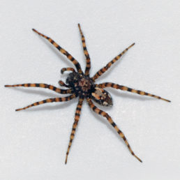 Featured spider picture of Arctosa perita (Sand Bear Wolf Spider)