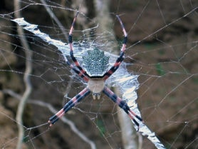Picture of Argiope flavipalpis - Female - Dorsal,Webs