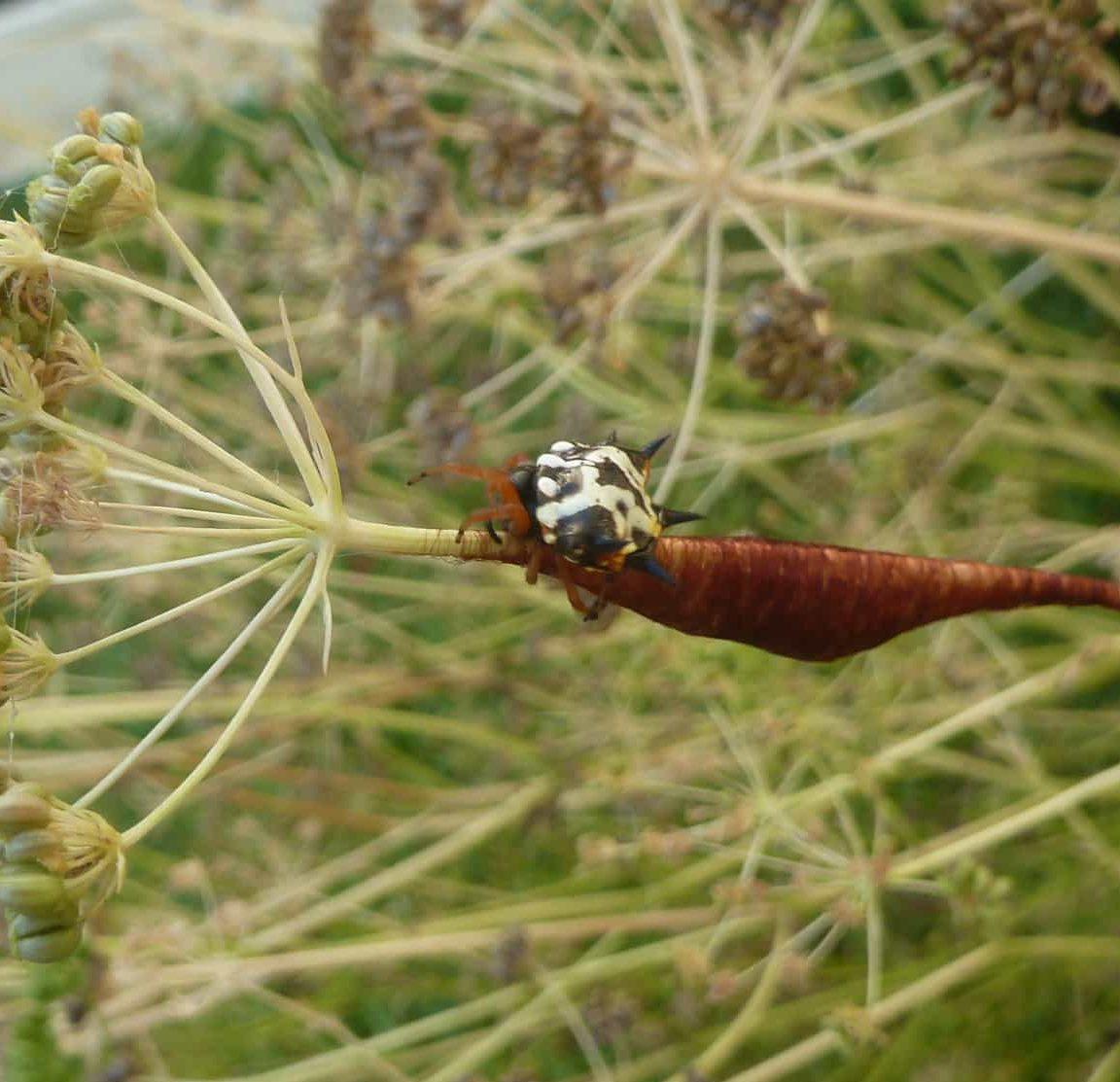 Picture of Austracantha minax (Jewel Spider) - Female - Dorsal,Egg sacs