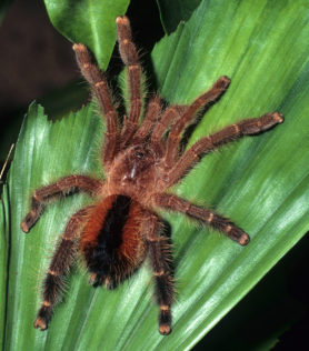 Picture of Avicularia lynnae - Female - Dorsal