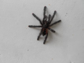 Picture of Avicularia spp. - Dorsal