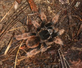 Picture of Brachypelma klaasi (Mexican Pink Tarantula) - Female - Dorsal