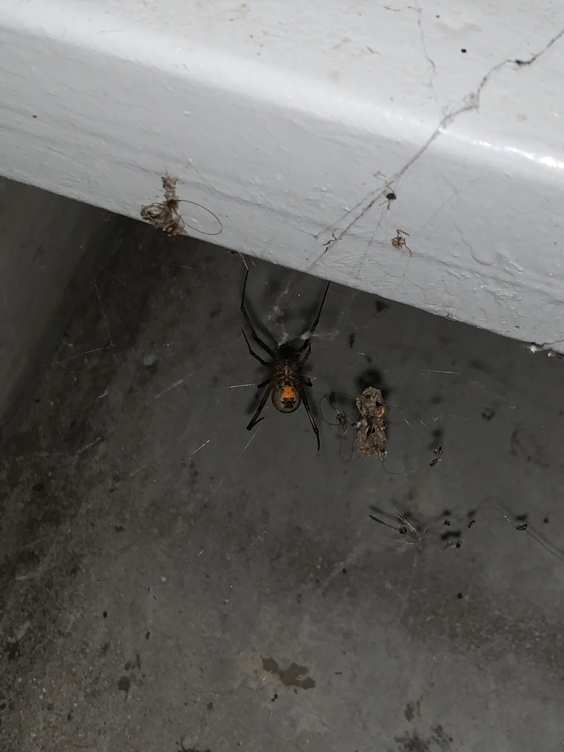 Picture of Latrodectus geometricus (Brown Widow Spider) - Ventral