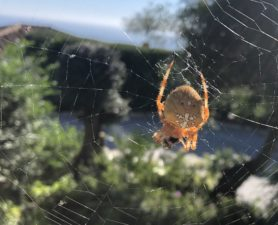 Picture of Araneus pallidus (Pale Cross Orb-weaver) - Dorsal,Webs,Prey