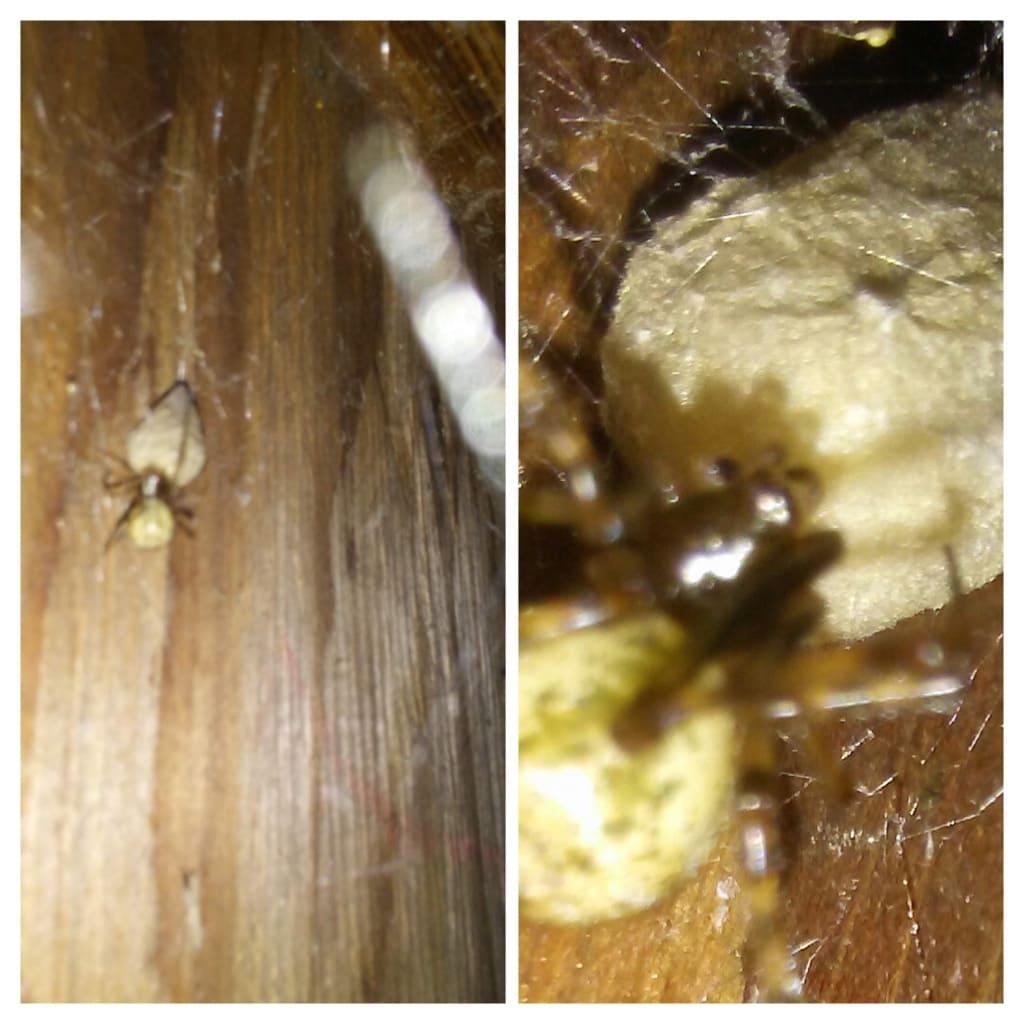 Picture of Parasteatoda tepidariorum (Common House Spider) - Dorsal,Egg sacs